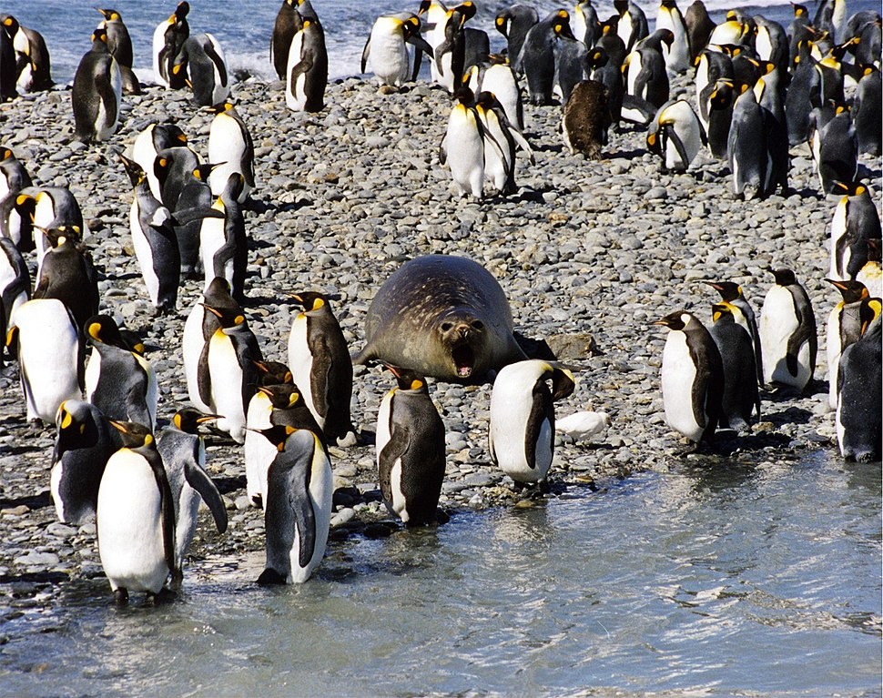 Seal and king penguins