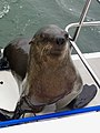 Seal on board (37715433096).jpg