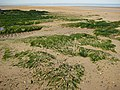 Seaweed on the shore - geograph.org.uk - 836959.jpg