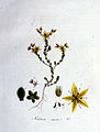 Sedum acre — Flora Batava — Volume v1.jpg