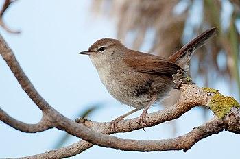 English: Cettis Warbler (Cettia cetti) Taken i...