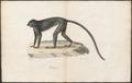 Semnopithecus maurus - 1700-1880 - Print - Iconographia Zoologica - Special Collections University of Amsterdam - UBA01 IZ19900011.tif