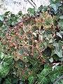 Sempervivum tectorum y Hedera helix.jpg