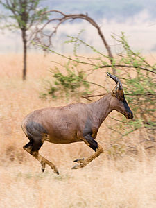 Topi antelope in Serengeti, portrait format