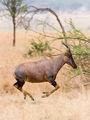 Serengeti Topi3.jpg