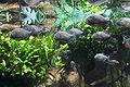Serraselmus in SPB oceanarium.JPG