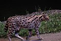 Serval-NightSafari-Singapore-20100110.jpg