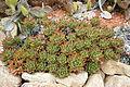 Ses Salines - Botanicactus - Aloe perfoliata 05 ies.jpg