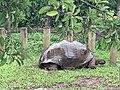 Seven Coloured Earths, tortoise, Chamarel, March 2020 (5).jpg