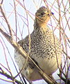 Sharp-tailed Grouse in Tree Lacreek NWR (12839638665).jpg