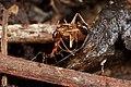Shattuck C13066-1, ANIC32-030605, Pheidole, n. Cairns, Queensland (3822013026) (2).jpg