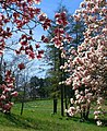 Shaw Nature Reserve magnolias and daffodils 1.jpg