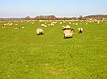 Sheep Farming, Maytham Wharf - geograph.org.uk - 388891.jpg