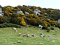Sheep and lambs below Hips Heugh - geograph.org.uk - 1223563.jpg