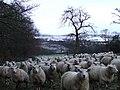 Sheep at Ardgowan - geograph.org.uk - 714298.jpg