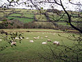 Sheep in the Monnow Valley - geograph.org.uk - 85142.jpg