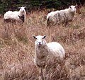 Sheep on the Green Garden's Trail (cropped).jpg