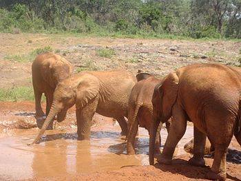 "English: Baby elephants in ""The David She..."