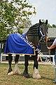 Shire Horse (2694410932).jpg