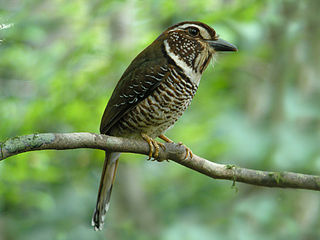 Short-legged ground roller species of bird