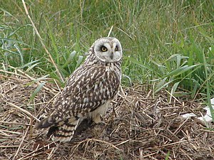 English: Short Eared Owl It is a privilege to ...