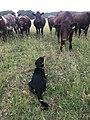 Shorthorn heifers & kelpie.jpg