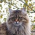 Siberian cat in summercoat (cropped).JPG