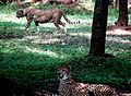 Sibling leopards from the Nehru Zoological Park - Hyderabad, Telangana.jpg