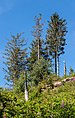 Sick trees - Panoramic trail - Northern Black Forest 01.jpg