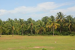 Sihanoukville Province - coconut palms.jpg