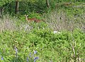 Sika deer on Lundy - geograph.org.uk - 1340630.jpg