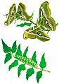 Silkworm-moth-bombyx-cynthia.jpg