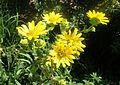 Silphium integrifolium kz2.jpg