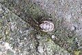 Silver-sided sector spider (FG) (6560973753).jpg