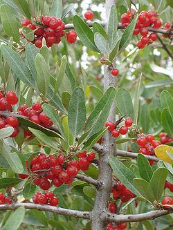definition of elaeagnaceae