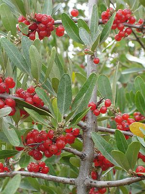Elaeagnaceae - Image: Silver Buffaloberry SK 3