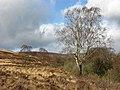 Silver birch trees - geograph.org.uk - 683013.jpg