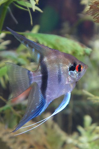 Pterophyllum - An adolescent silver angelfish