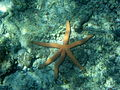 Six Legged Starfish in Madagascar.jpg