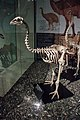 Skeleton of little bush moa, Otago Museum, 2016-01-29-2.jpg