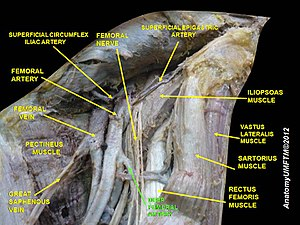 Deep artery of the thigh - Image: Slide 6NNNNN