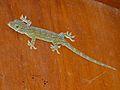 Smith's Green-eyed Gecko (Gekko smithii) (8074298614).jpg