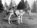 Smith boys unloading pack horse, Okanogan County, September, 1920 (LL 1021).jpg