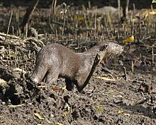 Smooth Otter (Lutrogale perspicillata) - Flickr - Lip Kee.jpg