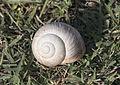 Snail - Salyangoz 01.jpg