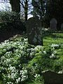 Snowdrops at Inwardleigh - geograph.org.uk - 331682.jpg