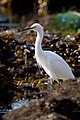 Snowy Egret walking the RPV Tidepools.jpg