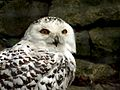 Snowy Owl (Bubo scandiacus) at Dudley Zoo.jpg