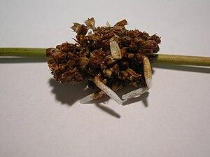 Juncus effusus - Pupal cases of Coleophora caespitiella on J. effusus.