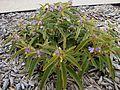 Solanum centrale.jpg